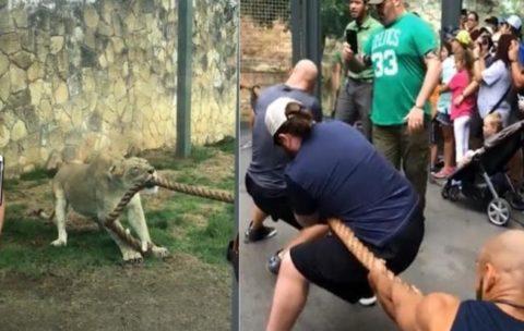 【衝撃】アメリカのプロレスラー3人とライオン1頭が綱引きしたらこうなる… マジかよ…