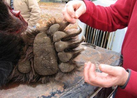 【閲覧注意】クマに顔面を1発パンチされた人間はこうなる。世界中で話題の動画