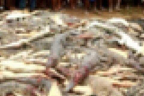 【閲覧注意】人食いワニ300匹 vs. 怒り狂った地元住民300人(動画あり)