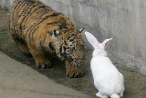 【奇跡】動物園がトラの檻に生きたウサギ(餌)を入れる ⇒ 次の日見に行った結果www