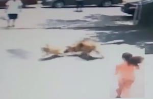 【動画】女の子に襲い掛かる近所の狂暴犬! しかしこの家にはとんでもねぇ番犬がいて…