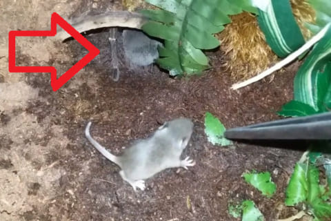 【驚愕】世界最大のクモ(25cm)が入ったカゴに生きたネズミ入れた結果・・・(動画あり)