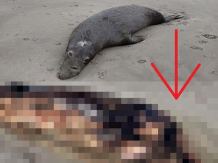 【恐怖】昨日海岸で死んだゾウアザラシを発見した。それが一晩でこうなってたんだが…(動画)