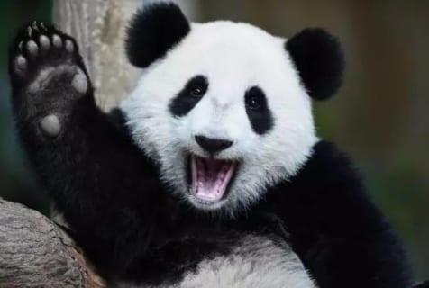 【閲覧注意】あんなに可愛らしい「パンダ」に襲われた人間の姿をご覧ください…(衝撃画像)