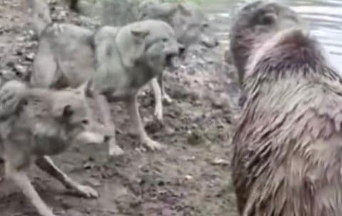 【衝撃映像】動物園でクマのエリアにオオカミ4頭が侵入した結果・・・