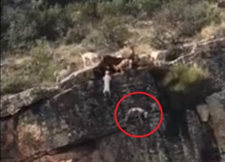 """崖ギリギリの鹿を仕留めようとする数十匹の猟犬が """"どんどん落ちていく"""" 動画が怖いと話題に"""