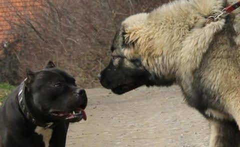 【動画】世界最強の犬 vs. 世界で最も人を殺している犬 ⇒ 当たり前すぎる結果に・・・