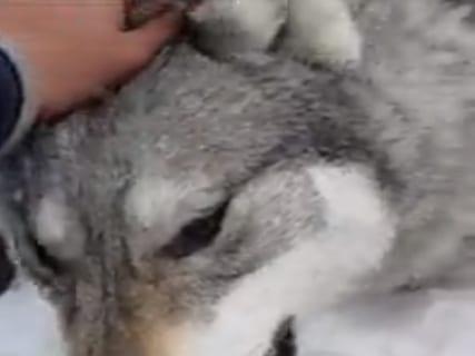 【閲覧注意】遊牧民「羊を殺しまくったオオカミを捕まえた。さぁ復讐の時間だ」(動画あり)