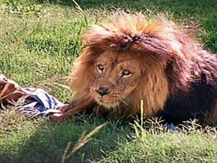 【閲覧注意】動物園でライオンに襲われた飼育員の体が・・・・・(画像あり)