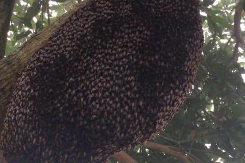 【超恐怖】ミツバチの巣が「この状態」になっていたら、絶対に近づいてはいけないらしい…(動画あり)