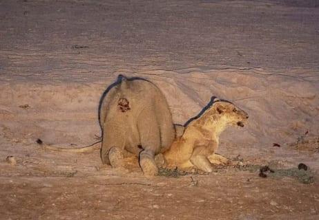 【驚愕】象さん、ライオンさんを物凄い殺し方する(画像あり)