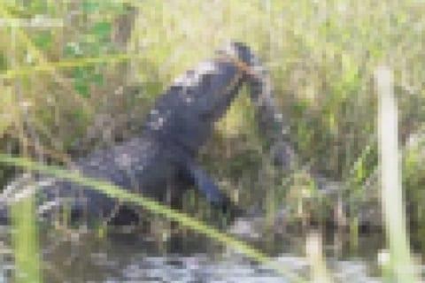 世界中で話題の動画。4mの巨大ワニ vs. 5mの巨大ニシキヘビの死闘が激写される!!!