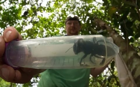 """【超恐怖】世界最大のハチ """"Megachile pluto"""" が38年ぶりに発見される。怖すぎだろ…"""