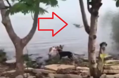 【狂気】女さん、飼い犬を「ワニ」がいる川で遊ばせ、案の定食べられ、泣き叫ぶ(動画)