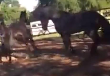 【衝撃】発情中のオス馬がメス馬に殺される瞬間… マジかよ…(動画あり)