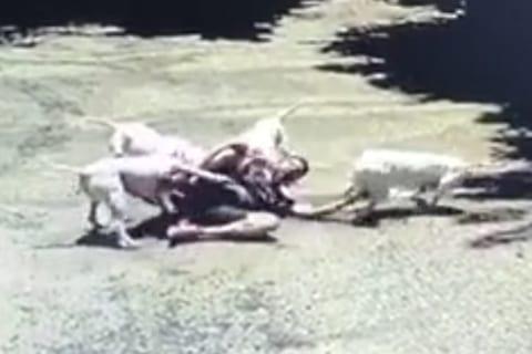 """【衝撃映像】""""世界で最も狂暴な犬4匹"""" に人間が襲われたら・・・マジかよ・・・"""