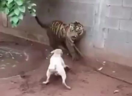 【動画】この前ツキノワグマとタイマン張った犬が「トラ」と戦った結果・・・