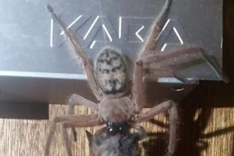 【驚愕】オーストラリアの蜘蛛、とんでもない生物を殺してしまう・・・(画像あり)