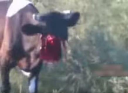【閲覧注意】伝説の動画。顔面が無くなったのにまだ生きている牛