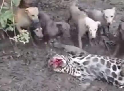 【衝撃映像】犬10匹 vs. ヒョウがガチで戦った結果・・・マジかよ・・・