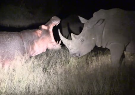【動画】アフリカで「カバ」と「サイ」の戦い勃発! ⇒ 圧倒的にコッチが強かった・・・