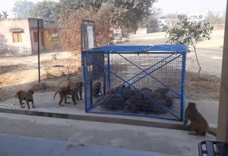 インド人が猿にマジ切れ。街中の猿を皆殺しにする為のトラップを仕掛ける