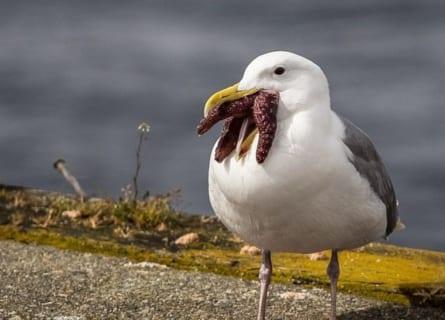 【画像】ヒトデを食べてるカモメがエイリアンにしか見えないと話題にwwwww