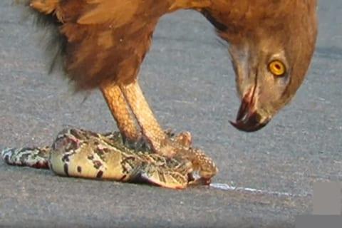 【鬼畜】鷲(ワシ)、逃げようとする蛇を生きたまま食べ続ける・・・