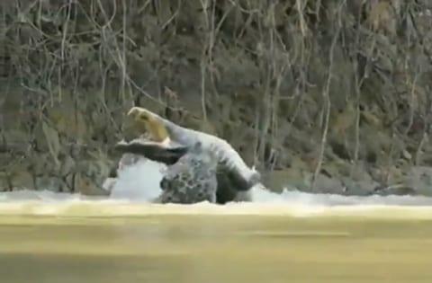 【衝撃】南米アマゾンで激写された「ヒョウ vs. クロコダイル」の死闘。カッコ良すぎる