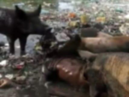 【閲覧注意】豚さん、人間の死体をむしゃむしゃと美味しそうに食べてしまう