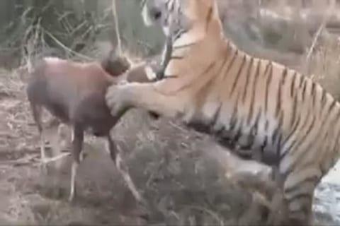 【動画】草食動物、喧嘩を売る相手を完全に間違ってしまう・・・・・