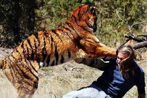 【超!閲覧注意】虎 vs. 人間、の末路。マジかよこれ・・・・・