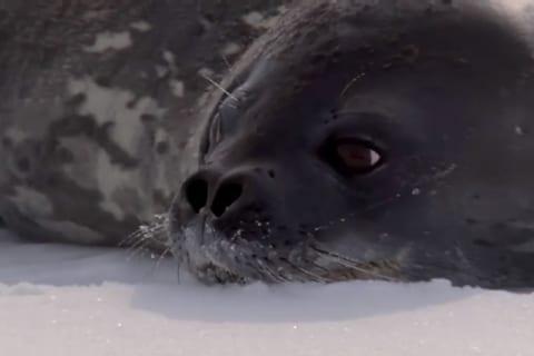 【悲報】アザラシさん、氷上でシャチにヒレを噛まれ、全てを悟った時の顔が…