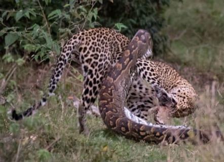 【画像】アフリカで「ヒョウ」vs.「ニシキヘビ」の殺し合い! ⇒ コッチが死にました…