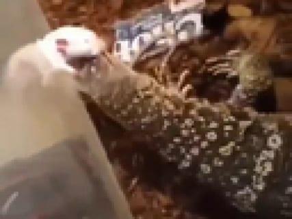 【閲覧注意】うちで飼ってる1mトカゲの餌やり、見る人が見たらトラウマレベル