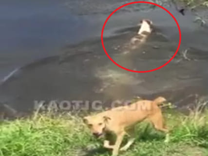 【衝撃映像】少女「ダメよフレディ(犬)!!その池にはワニがいるの!!」 ⇒ 結果