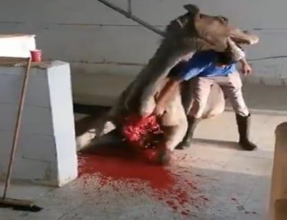 【閲覧注意】ラクダを殺そうとしたら・・・・・(衝撃動画)