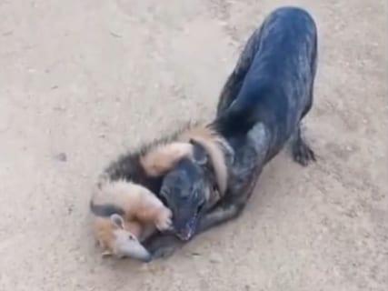 【衝撃映像】アリクイさん、犬の首を絞め殺そうとする…