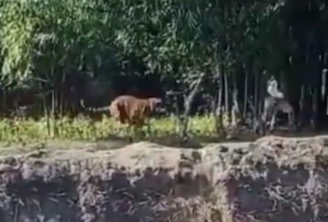 【衝撃映像】インドの村に「トラ」が襲撃、重傷者多数。こんなの人間が勝てる訳ないわ…