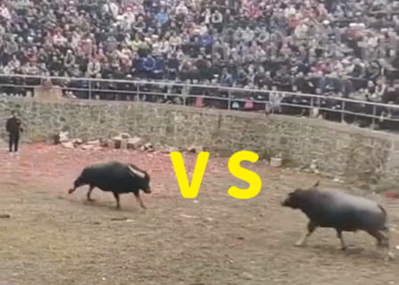 【衝撃映像】スイギュウ(700kg)vs. スイギュウ(700kg)の殺し合い、3秒で終わる