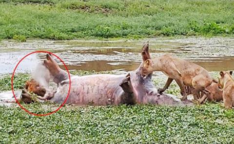 【閲覧注意】カバ、死んでもなおライオンを攻撃し続ける…(動画あり)