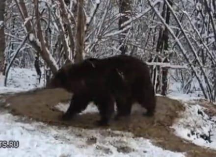 【闇深】動物園で20年飼われてたクマを野生に放したら怖い事し始めた