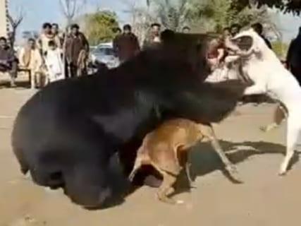 【衝撃映像】世界最狂の犬とヒグマをガチで戦わせたら・・・マジかよ・・・