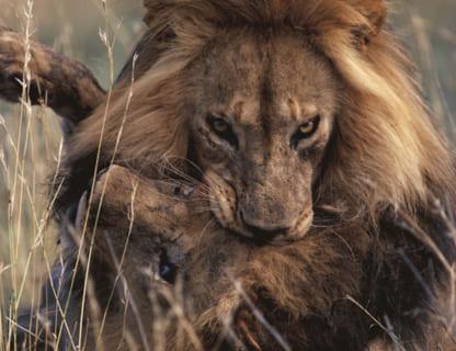 【閲覧注意】ライオン、前ボスとメスの子供を次々と殺していく…(動画あり)