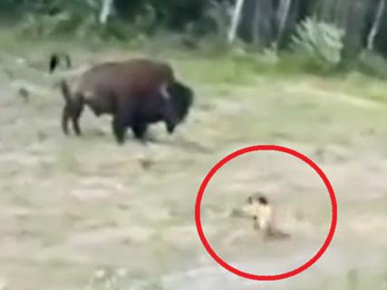 【動画】世界最強の牛 vs. 世界で最も人を殺している犬 ⇒ 当たり前すぎる結果に・・・