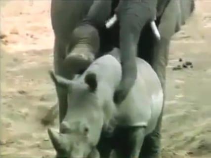 【衝撃映像】サイ、ゾウにレ●プされる