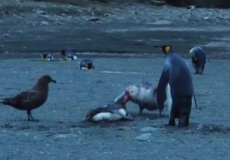 【閲覧注意】ペンギンの一生、残酷すぎる(動画あり)