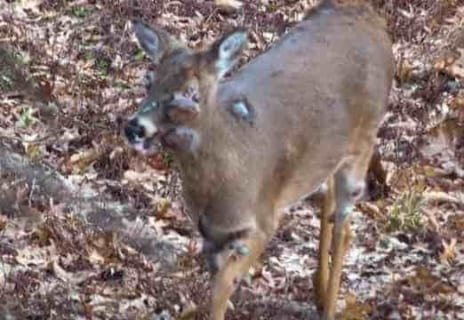 【閲覧注意】アメリカの「ゾンビ鹿」、また撮影される。人に感染する可能性も…