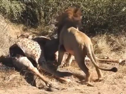 【閲覧注意】ライオン、キリンの腹から赤ちゃんを取り出してしまう・・・
