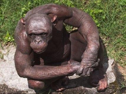 【閲覧注意】チンパンジー「腹減ったな…おいメス、ちょっとこっち来い」